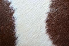 Skin horses Stock Photography