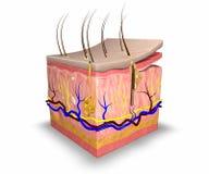 Skin layers stock illustration