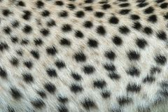 Skin of the leopard stock photo