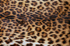 Skin of the leopard Royalty Free Stock Photography