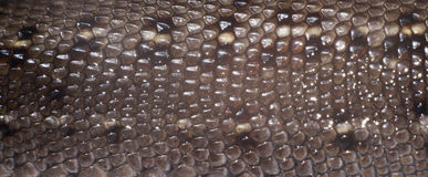 Skin of lizard Royalty Free Stock Photo