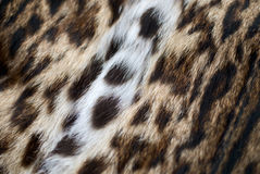 Skin of a lynx Royalty Free Stock Images