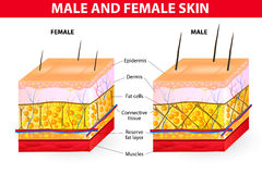 Skin male and female. Men tend to have more connective tissue that are arranged in such a way that it gives better support to the surrounding structures of the Royalty Free Stock Photos
