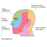 The skin nerves of of the head. Royalty Free Stock Images