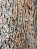 Skin of a pine tree Stock Images