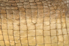 Skin's texture of crocodile. Close-up surface skin (scales) of Nile Crocodile (Crocodylus niloticus Royalty Free Stock Photography