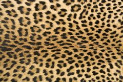 Skin's texture of leopard. Close-up of surface skin leopard (Panthera pardus Stock Photos
