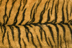 Skin's texture of tiger Stock Images