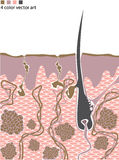Skin structure with hair. Skin structure showing how hair is growing Royalty Free Stock Images