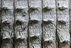 Skin texture Alligator crocodile Royalty Free Stock Photography
