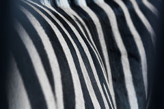 Skin texture of zebra Stock Photos