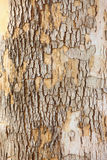 Skin of tree Royalty Free Stock Photo