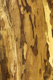 Skin of tree texture Stock Photo