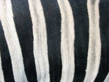 Skin of a zebra Royalty Free Stock Images