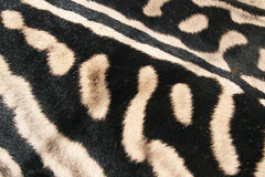 Skin of a Zebra African, Royalty Free Stock Images