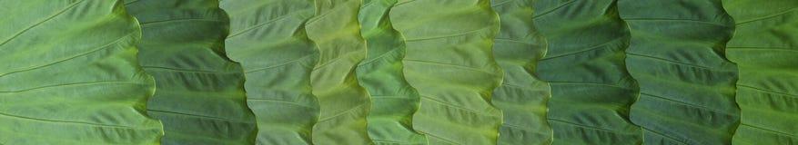 Skinali Fogli tropicali verdi Concetto di Eco Cenni storici della giungla Grandi foglie delle piante tropicali fotografia stock libera da diritti