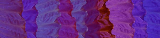 Skinali Foglie tropicali porpora, lilla e blu Concetto di Eco Cenni storici della giungla Grandi foglie variopinte delle piante t fotografie stock libere da diritti