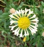Skinande centrerat härligt gulaktigt för blomma royaltyfri bild
