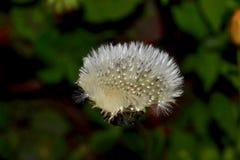 Skinande hårig blomma royaltyfri foto