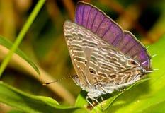Skinande purpurfärgad fjäril Royaltyfria Bilder