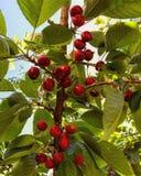 Skinande röda körsbär hänger från ett träd i middagsolen royaltyfri foto