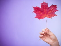 Skincare. Hand with maple leaf as symbol red dry capillary skin. Royalty Free Stock Photos