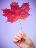Skincare. Hand with maple leaf as symbol red dry capillary skin. Stock Image