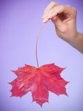 Skincare Hand med lönnlövet som röd torr hårfin hud för symbol Royaltyfri Foto