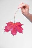 Skincare Ręka z liściem klonowym jako symbol czerwieni sucha kapilarna skóra Zdjęcia Royalty Free