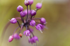 Skinienie cebula, Allium cernuum fotografia royalty free