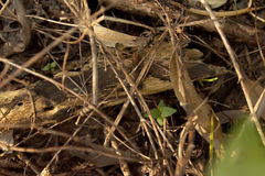 Skink小枝杈在地面下秘密地滑倒了 库存图片