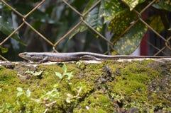 Skink蜥蜴 免版税图库摄影