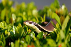 Skink наблюданное змейкой Стоковая Фотография RF