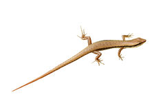 Skink Stock Photos
