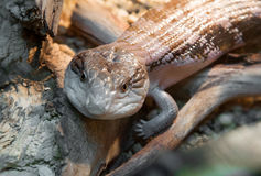 Skink Images stock