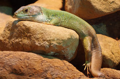 Skink animals lizards Royalty Free Stock Photography