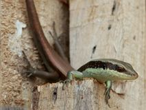 A skink be arrogant. On the wood piles royalty free stock photography