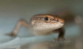 Skink. A close-up of a common skink or lizard royalty free stock images