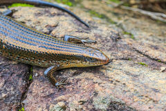 Skink Stock Photography