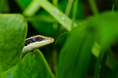 Skink in garden Royalty Free Stock Images