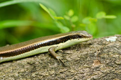 Skink in garden Stock Image