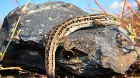 Skink; glatt-bodied Eidechse | Ein Sonnenbad nehmendes Reptil stockbild