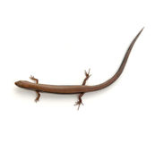 Skink Royalty Free Stock Photo