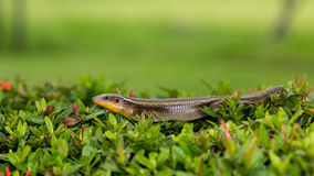 A skink. Stock Photo