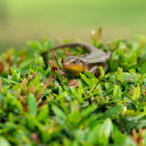 A skink. Stock Image