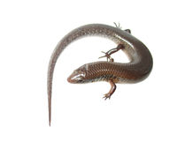 Skink lizard Stock Photography