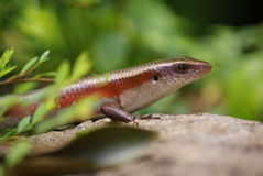 Skink Lizard Stock Photos