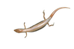 Skink lizard Royalty Free Stock Photos