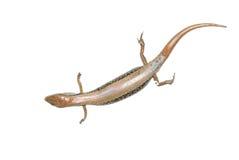 Skink lizard royalty free stock photos