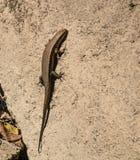 Skink lizard Stock Image